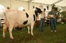 Mrákov 2008 - Lidka - 1. místo starší krávy Mrákov 2008 - Lidka - 1. místo starší krávy