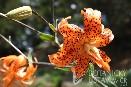 Lilium lancifolium 'Flore Pleno' lilie kopinatá
