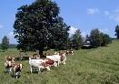 Na pastvinách v Americe