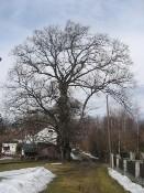 Památný strom - Paukův jilm